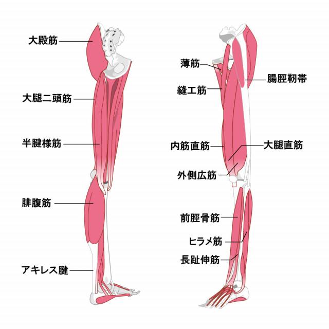 足の筋肉のイラスト