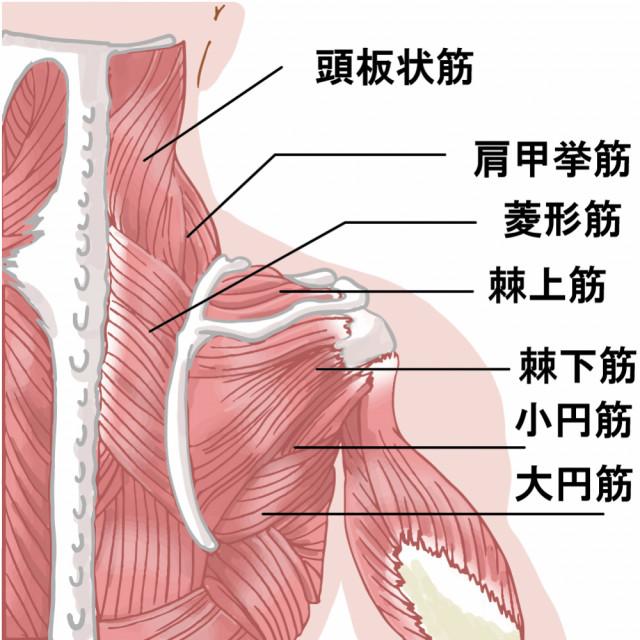 肩周りのコリの原因筋
